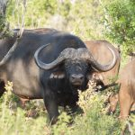 Buffle - Afrique du Sud