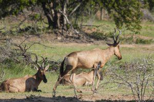 Bubale Roux - Afrique du Sud